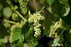 Le proprietà benefiche dell'uva, toccasana per cuore e pelle