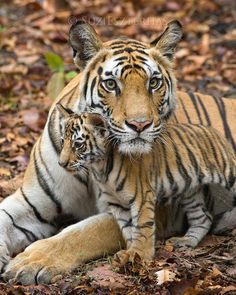 Choose your favorite tiger photographs from millions of available designs. All tiger photographs ship within 48 hours and include a money-back guarantee. Beautiful Cats, Animals Beautiful, Beautiful Creatures, Beautiful Pictures, Wildlife Photography, Animal Photography, Photography Photos, Canon Photography, Cartoon Mode