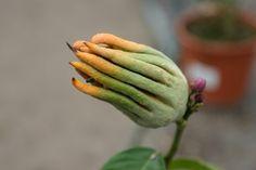 Citrus medica Digitata - #Buddha's Hand