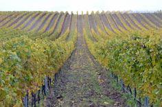 Weingärten Rust Rust, Vineyard, Outdoor, Nice Asses, Outdoors, Outdoor Games