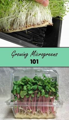 Want to grow Microgreens? Our handy guide covers all of the basics of microgreens, including the best type to grow. By the end of our guide, you& know to grow microgreens, as well as how to harvest and store them. Learn more now at Bootstrap Farmer! Growing Sprouts, Growing Microgreens, Growing Vegetables, Growing Plants, How To Grow Sprouts, Growing Herbs Indoors, Growing Lettuce, Starting Seeds Indoors, Growing Gardens