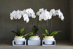 The brightness of white flowers suits every interior ©Anthura #phalaenopsis #Cambridge #white