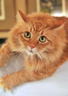 Scientists have found that different genetic combinations can affect the color, pattern, and length of a cat's fur. But what does that mean for orange cats? Are all orange cats male? Cute Cats And Kittens, I Love Cats, Crazy Cats, Cool Cats, Kittens Cutest, Ragdoll Kittens, Funny Kittens, Bengal Cats, White Kittens