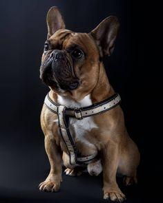 Sabemos que os gustan los arneses. Pronto esperamos daros alguna sorpresilla al respecto.  #arnes #harness #perros #gatos #dogs #cats #tailormade #handcrafted #fashion #moda #trend #dogstagram #customizable #frenchie