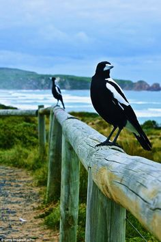 Image result for australian magpie