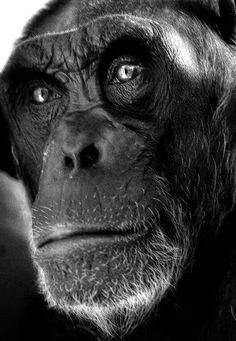 Primates, Chimpanzee, Orangutans, Monkey Art, Mundo Animal, Zoology, Sea Creatures, Portrait, Amazing Nature