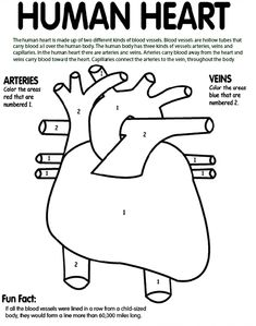 Human Heart coloring page- awesome! Tells kids what part to color blue and what part to color red