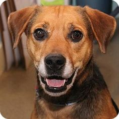Richmond, VA - Hound (Unknown Type) Mix. Meet Jason, a dog for adoption. http://www.adoptapet.com/pet/11850772-richmond-virginia-hound-unknown-type-mix