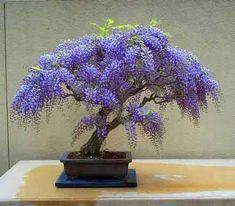 glycine bonsaï