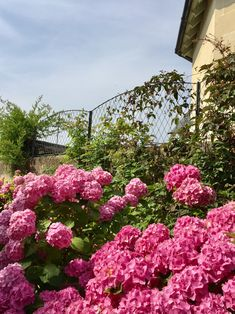 Garden Requisites' steel galvanized Convex Wall Top Trellis Panels surrounded by a lovely pink hydrangea that's bursting with colour. Garden Trellis Panels, Wall Trellis, Metal Trellis, Trellis Fence, Pink Hydrangea, Steel, Plants, Fencing, Beautiful