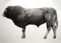 Sensational Charolais bull by Jonathan Delafield Cook. Pinned by Cara @ www.lumitrix.com