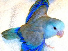 Pacific Parrotlet Gray Fallow
