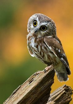 Northern Saw-whet Owl (Aegolius acadicus). Weighing 2 to 5 oz., it is one of the smallest owls in North America. photo: Malcolm Benn.