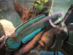 Channa Species or as it's commonly known as the True Blue Moonbeam Galaxy fish. Tropical Freshwater Fish, Freshwater Aquarium Fish, Aquarium Fish Tank, Aquarium Ideas, Tropical Aquarium, Tropical Fish, Unique Fish Tanks, Snakehead Fish, Monster Fishing