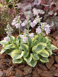 Frosted Mouse Ears Mini Hosta, Sugar Creek Gardens for exceptional Hosta