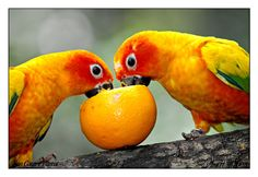 """Conures. """"We are adorable.""""  """"Agreed. Let us celebrate by eating this orange."""" LOL.  My two feathered heathens loved fresh fruit.  And they would fling it everywhere.  Always fun to clean up. :)"""