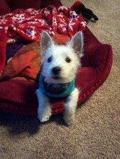 My new westie puppy..   Bentley Harper Higgins