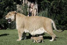 A Lion/Tiger crossbreed, the liger
