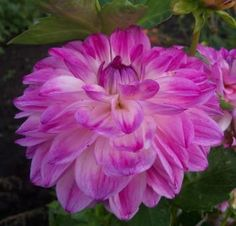Watercolors  Light blend purple/white.    FD    A must have cut flower.  Great color blend. 4' Purple Dahlia, Color Blending, Cut Flowers, Watercolors, Planting Flowers, Landscaping, Trees, Garden, Plants