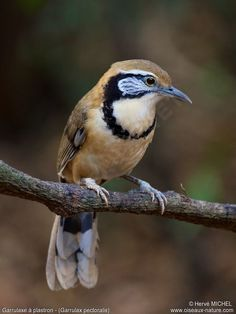 Greater Necklaced Laughingthrush - Garrulax pectoralis