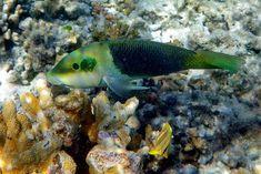 Bunte Unterwasserwelt im flachen Riff rund um Heron Island Great Barrier Reef, Island, Heron, Pets, Animals, Travel Report, Round Round, Travel, Animales
