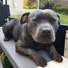 Uplifting So You Want A American Pit Bull Terrier Ideas. Fabulous So You Want A American Pit Bull Terrier Ideas. Cute Dogs And Puppies, I Love Dogs, Pet Dogs, Doggies, Chihuahua Dogs, Dogs Pitbull, Merle Pitbull, Pitbull Photos, Staffy Dog