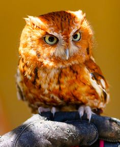 Tangerine owl-- It sure looks like what we always called a Screech Owl. That's the sound it made- like a woman screeching, getting ready to scream.   Charles Yeary     cyeary70@yahoo.com