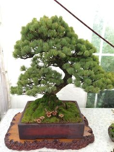 Bonsai and fungi