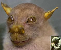 The recently described Tube-Nosed Fruit Bat sports supersized outie nostrils used to... to... well, scientists aren't exactly sure but then, they're not all that imaginative either if the bat's name is any indication.