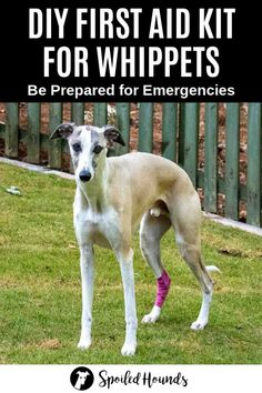 Be prepared when accidents and emergencies happen with your whippet. Find out how to make a DIY dog first aid kit with supplies recommended by whippet owners. The best way to take care of your whippet is to be ready with essential first aid supplies. Diy First Aid Kit, First Aid Kit Supplies, Manuka Honey For Wounds, Medical Grade Manuka Honey, Happy Animals, Wild Animals, Baby Otters, Dog Socks, Diy Dog