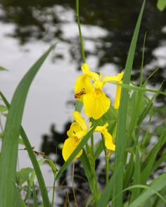 Yellow irises by a pond along old highway 30, near Viento State Park, OR.  06/2014.