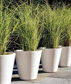 ornamental grasses in planters - Google Search