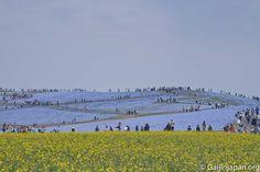 Hitachi Seaside Park et ses fleurs bleues par millions Hitachi Seaside Park, Linear Park, Ibaraki, Great Places, Beautiful, Flower Beds, Blue Flowers, Colors