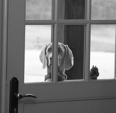 """Where are you?"" #weimaraner #weim"