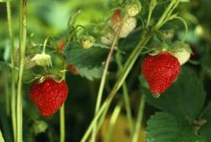 How To Grow The Best-tasting Strawberries