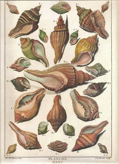 Botanical illustration of shells