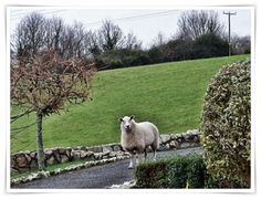 Mike's Cornwall: I was surprised to see this sheep in a house driveway. She must have escaped from the hilly green field in the background. I looked at her, she looked at me - and I think I was the first to blink. Definitely a sheep with attitude! Animal Humour, Sheep And Lamb, Green Fields, Lambs, Cornwall, Attitude, England, Lost, Garden