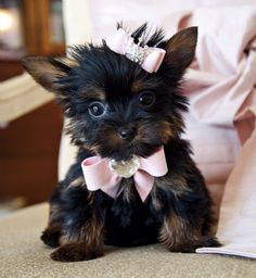 Teacup Yorkie Princess. Amazing Dark Lush Coat! Stunning Baby Doll Face!