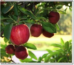 Pretty Red Apples