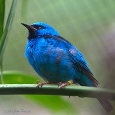 Northern Blue Dacnis (male)