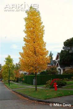 Tulip Poplar Tree. Gets up to 70ft tall in maturity with yellowish flowering in the spring.