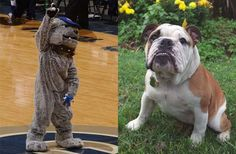 The Georgetown Hoyas mascots. Jack,the Bulldogs.