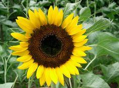 solsikke - helianthus annuus