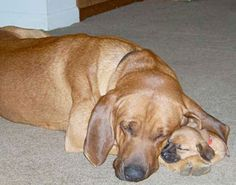 redbone-coonhound-and-pup