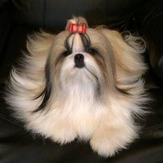 Shih Tzu Shiki after grooming Perro Shih Tzu, Shih Tzu Puppy, Shih Tzus, Teacup Puppies, Cute Puppies, Cute Dogs, Dogs And Puppies, Animals And Pets, Cute Animals