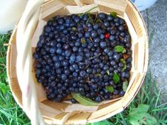 Ready to grow your own blueberries? These tips will help you grow great blueberry bushes. Where to Plant Blueberry Bushes Blueberries are a very rewarding shrub to grow at home, and will produce bu...