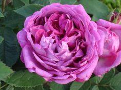 Rose du Roi a Fleurs Pourpres