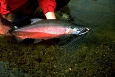 Get an outfitter for salmon in Alaska (Fly-fishing)