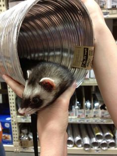 Finding ferret toys at Home Depot. Why is this ferret at Home Depot? Ferrets Care, Baby Ferrets, Cute Ferrets, Ferret Toys, Pet Ferret, Pet Rats, Ferret Accessories, Dog Pin, Diy Stuffed Animals