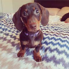 Pleaseee??? - @winnie.thewienerdog --- #Hugadachshund #dachshund #dachshunds #dachshundoftheday #dachshundsofinstagram #dachshundlove #doxie #doxies #doxiesofinstagram #doxielove #sausagedog #sausagedogs #wienerdog #dog #dogs #dogsofinstagram #dogoftheday #instagramdogs #photooftheday #picoftheday #instadaily #loveit #dogstagram #weinerdog #dachshundsonly #doxiefever #sausagedogsofinstagram #doxieobsessed #dachshundlife #dachshundlover
